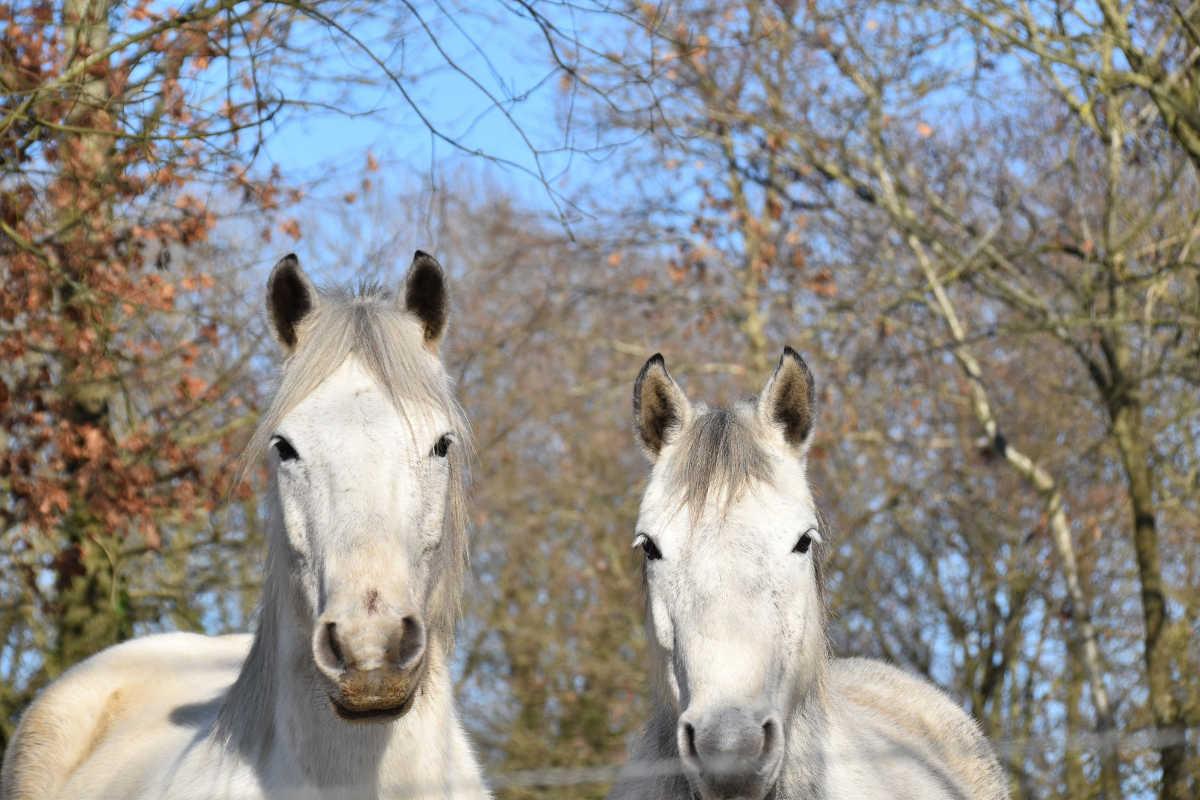 Två hästar i hage